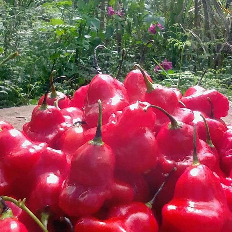 aji-dulce-galeria2-sembrar-y-servir