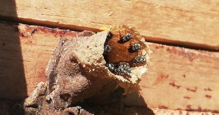 Miel de abeja sin aguijón: qué es, cuáles son sus propiedades